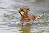 This is why I'm called a Retriever.  Zeus, our golden retriever, loves to play fetch in the shallow shore line of Lake Weir.  He will continue to fetch and retrieve for as many times as you are willing to throw it to him.